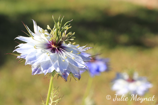 A luminous purplish-white Nigella damascena flower
